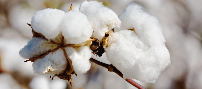Bawełna bawełnie nierówna